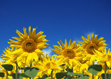 Summertime Sunflowers Royalty Free Stock Image