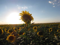 Summertime Sunflowers. Beautiful yellow and brown sunflowers following the sun Stock Photography