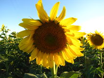 Summertime Sunflowers. Beautiful yellow and brown sunflowers following the sun Royalty Free Stock Photography