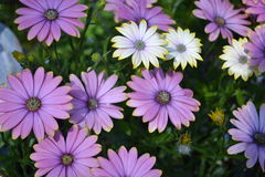 Summertime sweet blue sunrise. These are beautiful flowers. They are called Osteospermum summertime sweet blue sunrise. Showy colors range from yellows, purples Stock Photography