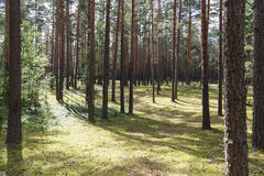 Summertime in tranquil pine forest Royalty Free Stock Photo