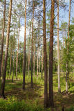 Summertime in tranquil pine forest Stock Photos