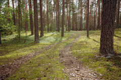 Summertime in tranquil pine forest Royalty Free Stock Photos