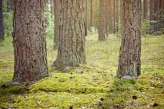 Summertime in tranquil pine forest Stock Photography