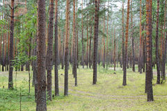 Summertime in tranquil pine forest Stock Image