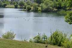 Summertime with tree and bush of a shore and swimming mallard ducks  in the lake a residential district Drujba. Sofia, Bulgaria Royalty Free Stock Photography