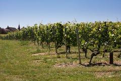 Summertime vineyards stock photography