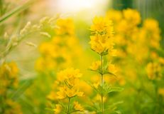 Summertime yellow flowers. At asbstract bright background background Stock Photos