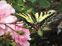 Bright colorful tiger swallowtail butterfly on pink rose in a garden, British Columbia, Canada, 2018. Summertime yellow tiger swallowtail butterfly on pink rose royalty free stock images
