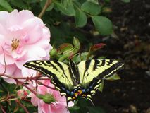 Bright colorful tiger swallowtail butterfly on pink rose in a garden, British Columbia, Canada, 2018. Summertime yellow tiger swallowtail butterfly on pink rose stock photos