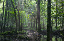 Summertimesunrise in wet deciduous stand of Bialowieza Forest Stock Photo