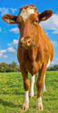 Summery κόκκινη και άσπρη αγελάδα με τις ετικέττες αυτιών στον πράσινο τομέα με το μπλε ουρανό Στοκ φωτογραφία με δικαίωμα ελεύθερης χρήσης