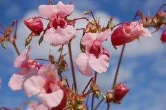 Himalayan balsam (impatiens gladulifera) Royalty Free Stock Images