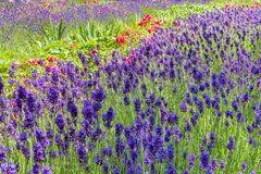 Summery flower bed with lavender and roses Royalty Free Stock Photos