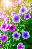Summery flower purple and pink petunia sunny Stock Photos