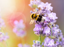 Summery flowers lavender with bee Royalty Free Stock Photography