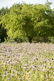 Summery sunny field of buckwheat Stock Image