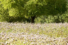 Summery sunny field of buckwheat Royalty Free Stock Image