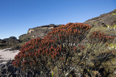 Summit of Mount Roraima, volcanic stones and red endemic plants. Stock Image