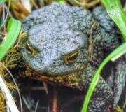Sumner della rana della natura Immagini Stock