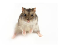 Sumo hamster Royalty Free Stock Photos