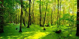 Sumpf - Briesetal på birkenwerder Arkivbilder