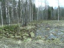 Sumpf in der Birke zur Waldung Lizenzfreies Stockfoto