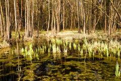 Sumpf (Frühling) Stockbild