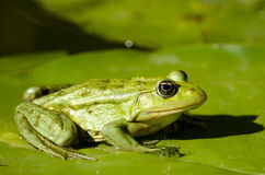 Sumpf-Frosch Lizenzfreies Stockbild