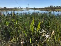 Sumpf Gras und Wildflowers im Sumpf stockbild