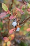 Sumpf-Heidelbeere im Herbst Lizenzfreie Stockbilder