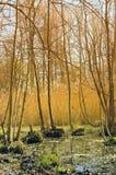 Sumpf im Frühjahr Stockfoto