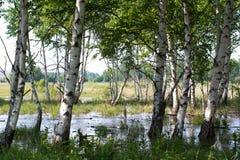 Sumpf im Wald mit Birken lizenzfreies stockbild