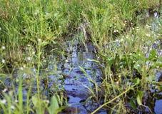 Sumpf-Nahaufnahme Stockbild