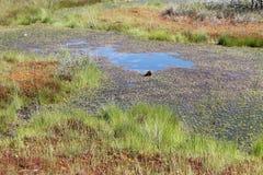 Sumpf an Nationalpark Kemeri, Lettland lizenzfreies stockbild
