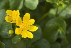 Sumpf-Ringelblume Stockbilder