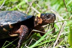 Sumpf-Schildkröte Stockfoto