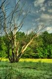 Sumpf und trockener Baum Stockbilder