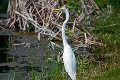 Sumpf-Vogel Stockbilder