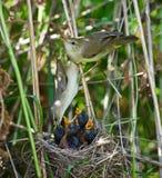 Sumpf-Wobbelton, Acrocephalus palustris Stockfoto