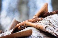 Sumpf workin Biber der weißen Birke Stockbilder