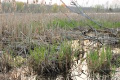 Sumpfgebiet im Frühjahr Stockbild