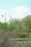 Sumpfgebiet mit Kanada-Gänsen Lizenzfreies Stockbild