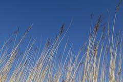 Sumpfgebiet-Schilfe Lizenzfreie Stockbilder
