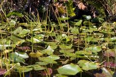 Sumpfgebiet-Sumpf Lizenzfreie Stockfotos