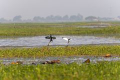 Sumpfgebiet-Vögel in dem Teich lizenzfreies stockfoto