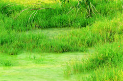 Sumpfgebietgräser Stockfoto