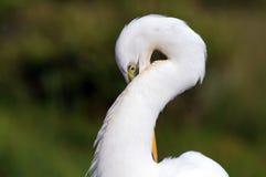 Sumpfgebietnahaufnahme Weiß-Reiher Lizenzfreie Stockbilder