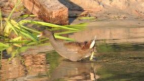Sumpfhuhn 3-4 Monate alte im Wasser des Flusses stützen unter Stockfoto