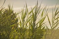 Sumpfige Vegetation bei Sonnenuntergang Stockbild